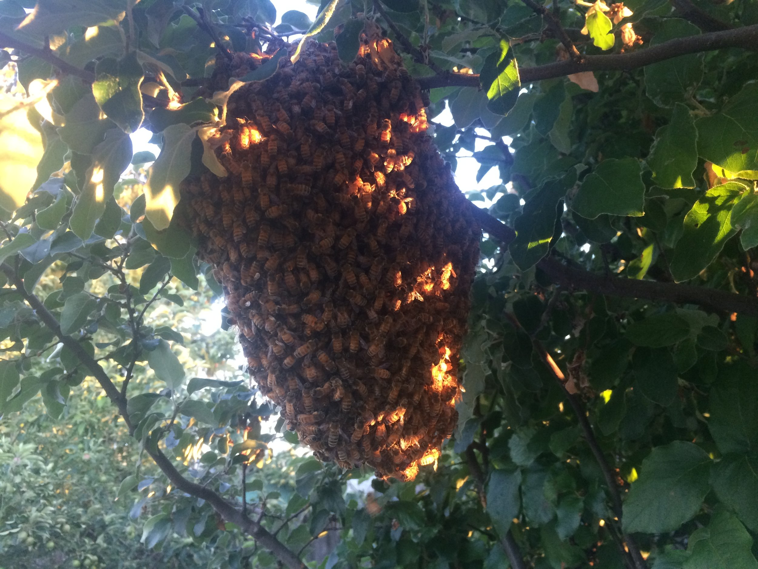 This is the bee-autiful swarm that Ruby caught.